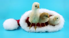Three cute small yellow roosters relaxing in Santa Claus hat Stock Footage