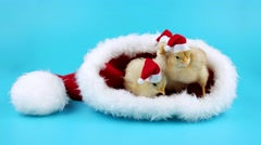Three funny young roosters in red hats in the big Santas hat Stock Footage