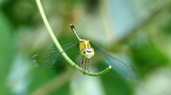 Dragonfly lands on a vine. Stock Footage