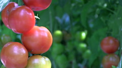 Red and green tomatos on the bush Stock Footage