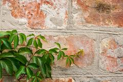 Garden wild grapes with autumn leaves on a brick wall. Stock Photos
