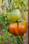 Ripe tomatoes growing on the branches - cultivated in the garden.. Stock Photos