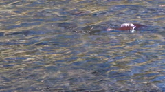 Steelhead Trout Swimming Upstream to Spawn Stock Footage