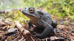 Close up from a dark green Common toad Stock Footage