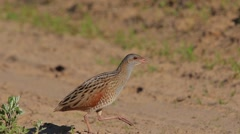 Corn Crake. Song. Male. Close-up. Stock Footage