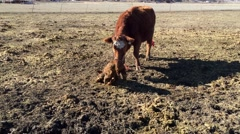 Cow and calf shortly after birth HD  Stock Footage
