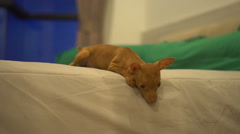 Cute miniature pinscher puppy on the bed Stock Footage