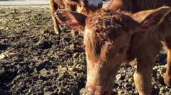 Cow with calf taking first steps in the morning light HD  Stock Footage