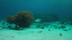 Sailfin Snapper on a coral reef Stock Footage