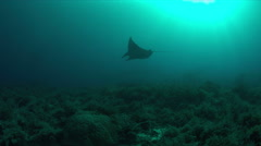 Manta ray on a coral reef 4k Stock Footage