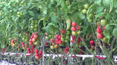 Tomatoes growing in the greenhouse Stock Footage