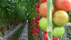 Tomatoes production in the plantation Stock Footage