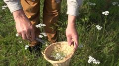 Herbalist picking yarrow in wicker basket, 4K Stock Footage