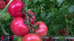 Red tomato cultivated Stock Footage