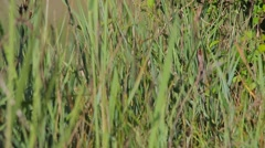 Corn Crake. Song. Male. Stock Footage