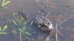 Marsh frog in spring Stock Footage
