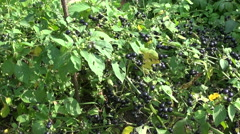 Black nightshade Solanum nigrum berries Stock Footage