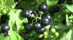 Solanum nigrum black and green berries Stock Footage