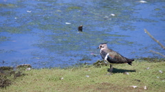 Lapwing on Grass by a Lake Stock Footage