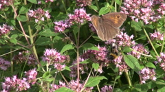 Bumblebee and butterfly on oregano on oregano Stock Footage