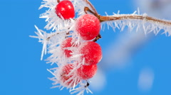 Viburnum berries in the frost Stock Footage