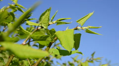Sakhalin Knotweed in spring Stock Footage