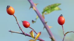 Ripe rose hips, close-up Stock Footage