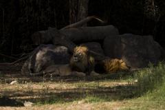 Lion lying behind rocks Kuvituskuvat