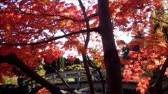 Beautiful Japanese garden, red golden maple leaves over pond Stock Footage
