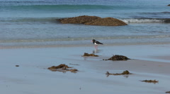 Pied oyster catcher walking on a beach in tasmania, australia Stock Footage