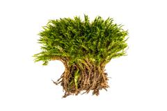 Green moss on a white background. Moss with roots isolated. Stock Photos