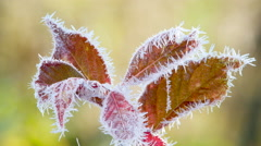 Red Leaves in the frost Stock Footage