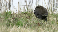 Close-up of a Moorhen rail bird (Gallinula chloropus) walking away into grass Stock Footage