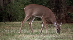 Close up of a grazing female white tail deer Stock Footage