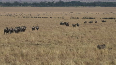 Lines of wildebeest on the annual migration in masai mara, kenya Stock Footage