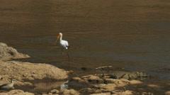 Tracking shot of a yellow-billed stork at the mara river, kenya Stock Footage