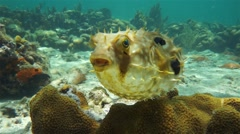 Bridled burrfish deflating in a coral reef Stock Footage