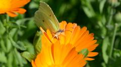 Brimstone butterfly on calendula Stock Footage