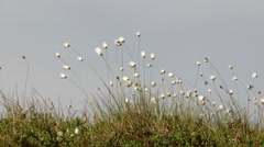 Small white fluffy polar plants swaying in the wind. Stock Footage
