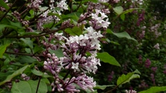 Lilac bushes with small flowers. Stock Footage