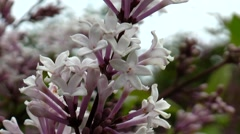 Small lilac flowers close up. Stock Footage