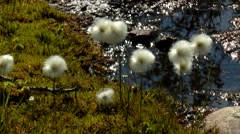 Small white fluffy polar plants slightly trembling in the wind. Stock Footage