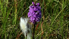 Two polar flower bog down and North Orchid closeup. Stock Footage