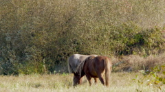 Horses grazing frosty morning Stock Footage