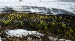 Snowdrops and lots of snow Stock Footage