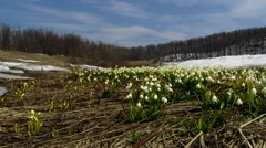 Snowdrop on the background of forest and sky Stock Footage