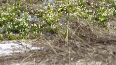 Snowdrops at Mirage Stock Footage
