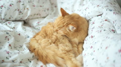 Cute ginger cat lying in bed. Fluffy pet licks itself. Cozy home background Stock Footage