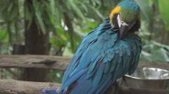Cute yellow and blue macaw parrot bird resting on a branch Stock Footage