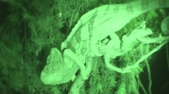 Chameleon video night vision, chameleon on the tree on the side Stock Footage